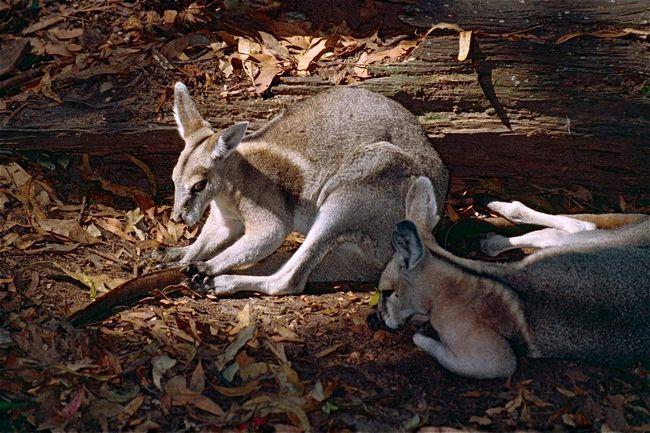 Specifični sezone parenja, a ne pod povoljnim uslovima ženke može narasti do tri mladunca godišnje.
