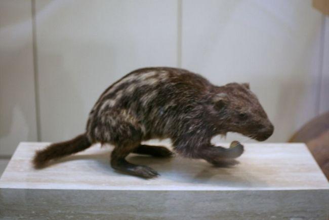 Ужасная мышь или пакарана (dinomys)