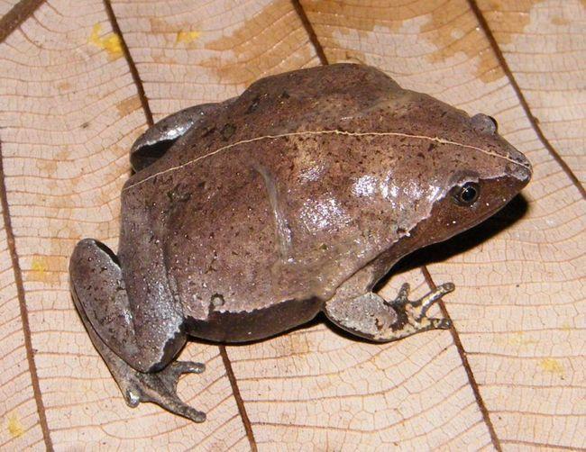 Microhylidae frog aktivne pretežno u sumrak. Provedite dosta vremena u skloništima