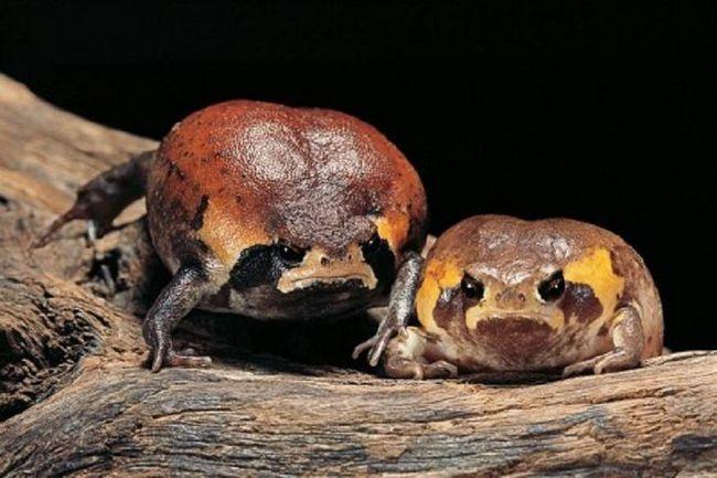 East African microhylidae pojaviti u velikom broju poslije kiše.