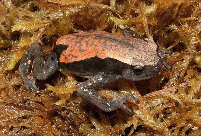 Motley microhylidae nedostaje sposobnost da skoči, ali oni mogu biti vrlo sporo puzati.
