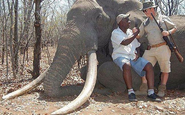 В африке убит самый большой за 30 лет слон