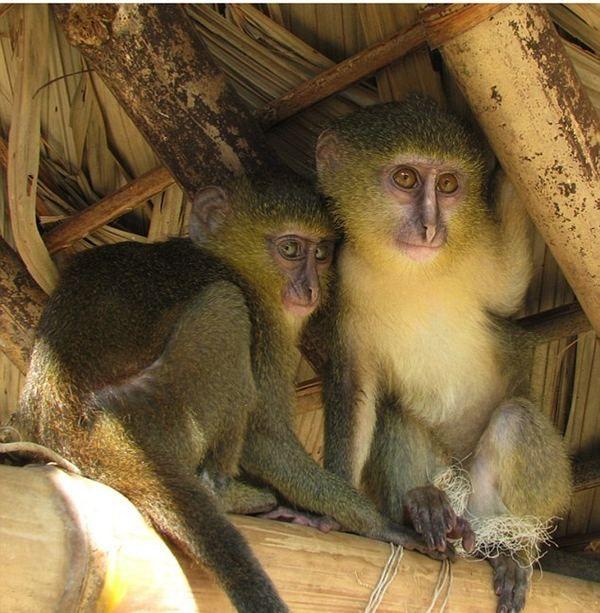 U Africi, po prvi put u 28 godina, pronašao novu vrstu majmuna