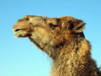 Верблюдов из россии пропустили на украину