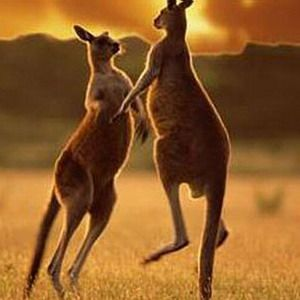 В австралии кенгуру напал на человека