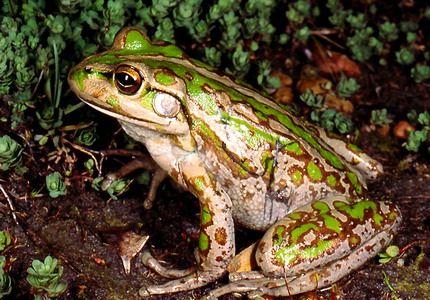 Spotted zlatna žaba se vratio u Australiju.