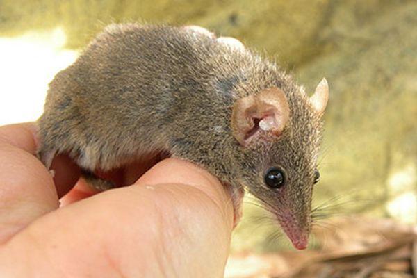 U Australiji su otkrili novu vrstu torbar miša