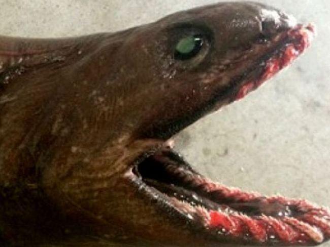 nabran shark