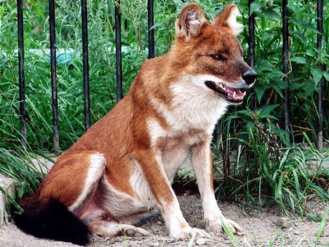 V parku dokonce našel zbytky červeného vlka.