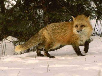 В белоруссии лиса выстрелила в охотника из ружья