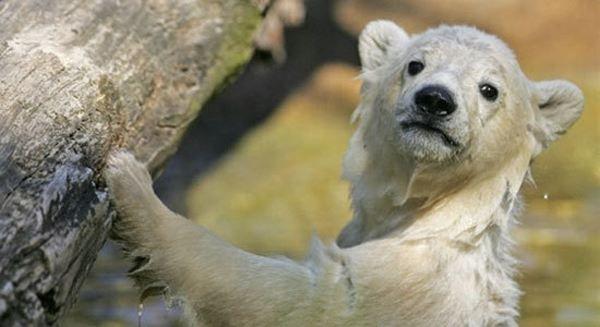 Berlínská zoo zemřel slavný medvěd Knut