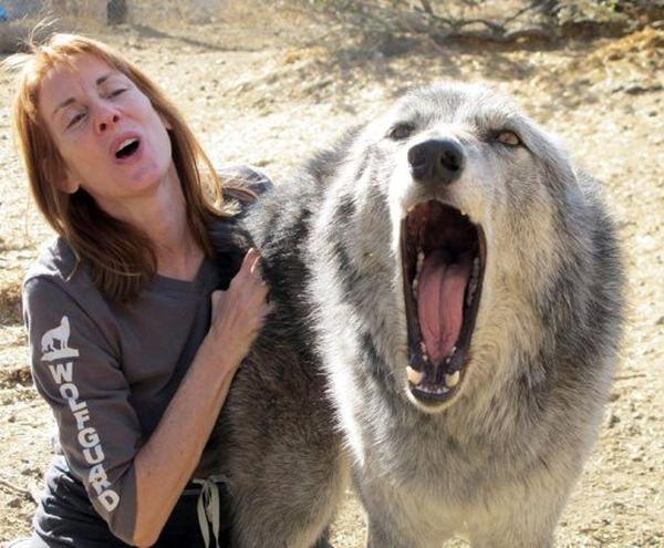 U volkosobov centra za spašavanje na Aljasci