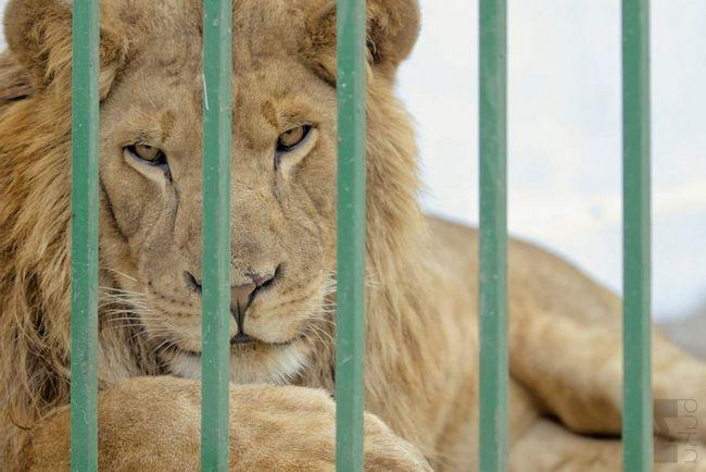 U Gjumri umire životinja iz privatnog zoološkog vrta.