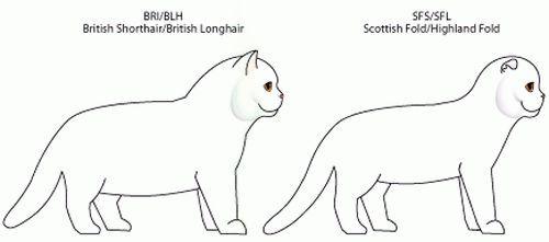 Koja je razlika između britanskog i škotskog mačke