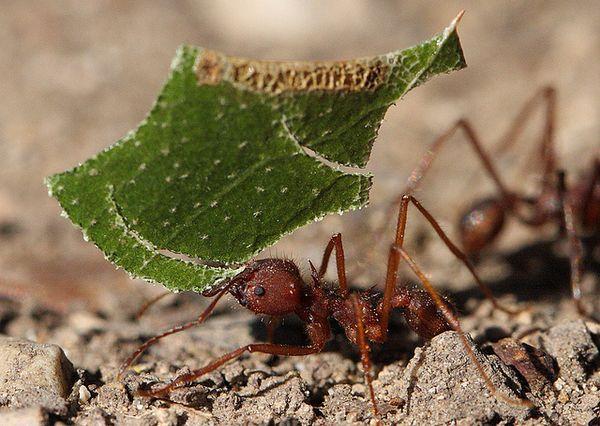 В чём секрет муравьёв-листорезов?