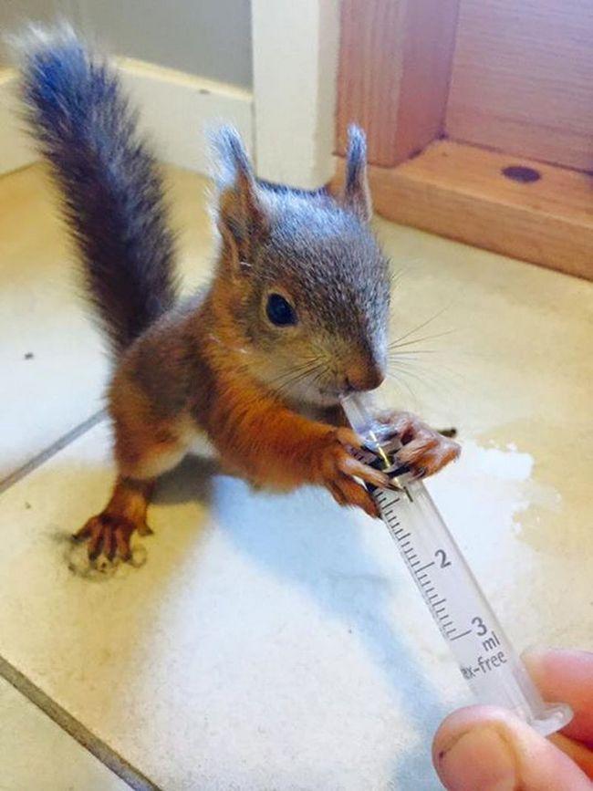 U Finskoj, ranjena sam vjeverica došao do veterinara