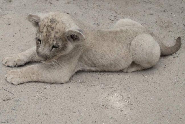 Krasnodar fotograf pocepao očnjake mladih lavova: krivični postupak.