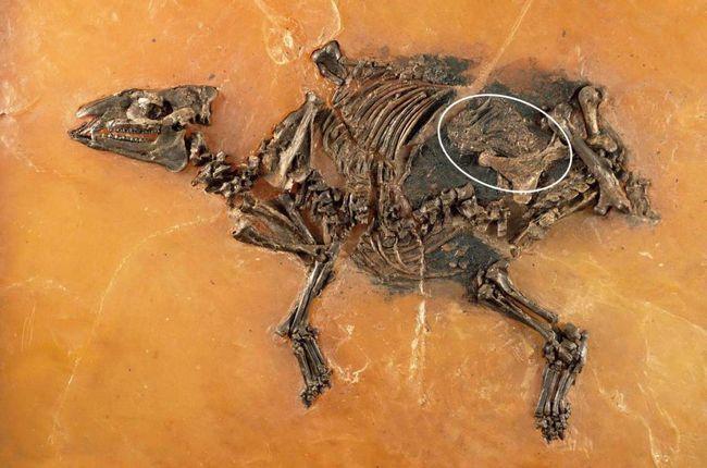 Pronađeno trudna konj koji je umro prije 48 miliona godina.