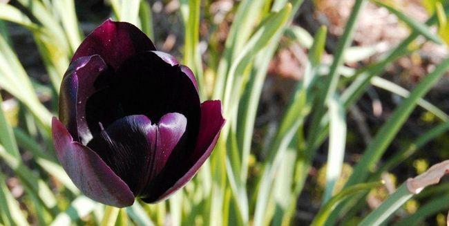 Flower - Black Tulip