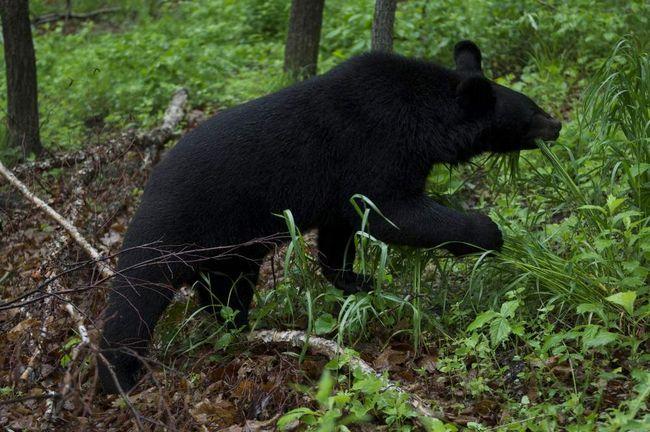 Na okraji Chabarovsku pronásleduje himálajské medvěd.