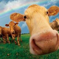 U regiji Kharkiv žele uspostaviti uzgoj i genetski centar, gdje krave mogu uzgajati iz embrija