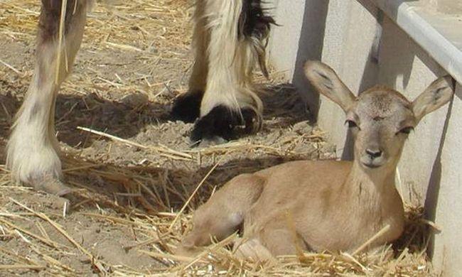 V Íránu, klonované muflon.