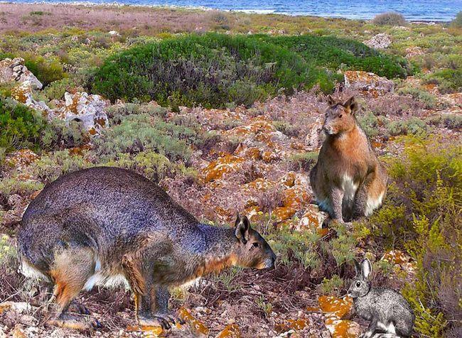 В испании обнаружен гигантский непрыгающий кролик