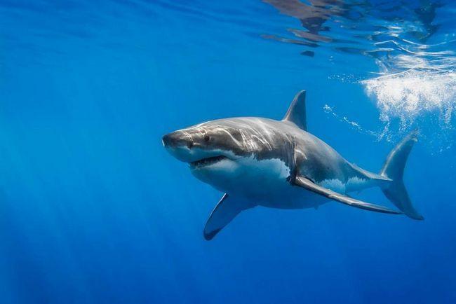 Белая акула умерла в аквариуме.