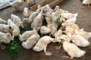 Утки в возрасте 1 месяца