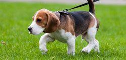 В каком возрасте нужно вести щенка на первую прогулку на улице?