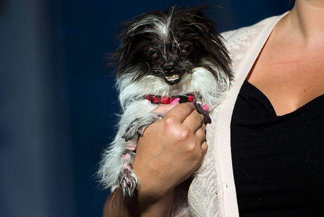 В калифорнии состоялся конкурс самый уродливый пес в мире