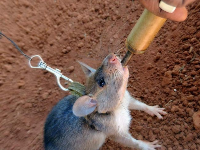 В камбоджи гигантских крыс научили искать мины