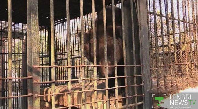 В казахском зоопарке испуганная фейерверками медведица съела собственных детенышей