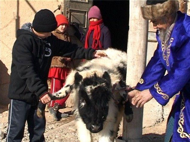 В казахстане живет теленок, у которого шесть ног и три рога