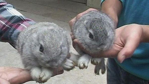В Китае крольчиха родила безухих кроликов