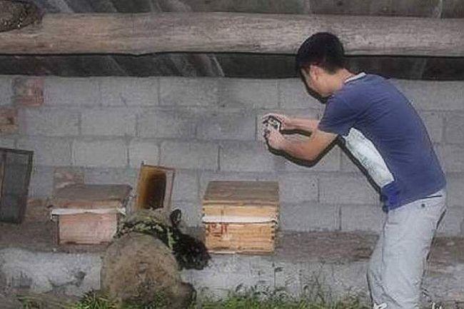 Panda-lopov koji je razorio pčelinjak.