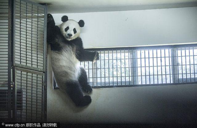 В китае панды изнывают от жары