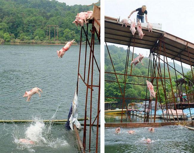 В китае прошел заплыв свинок