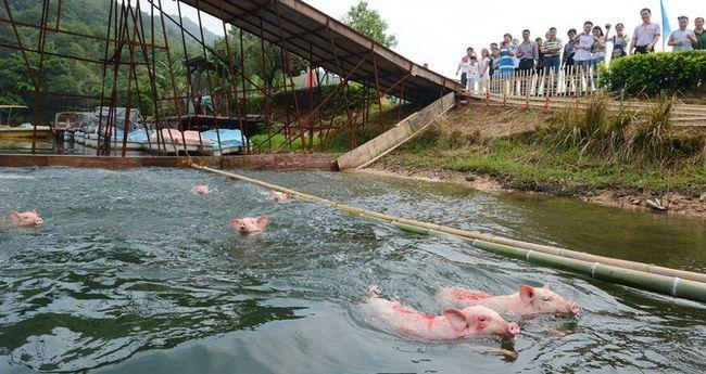 V Číně, prase plaval