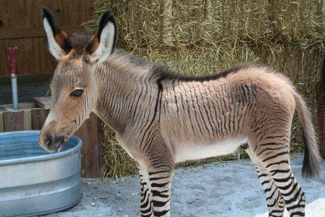 В крыму родился редчайший гибрид осла и зебры