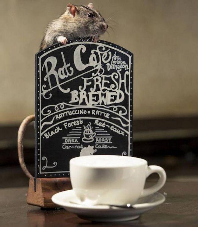 В лондоне открылась кофейня с крысами