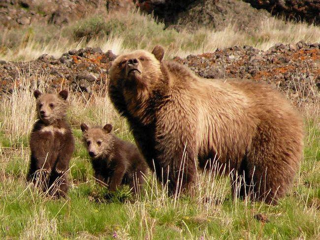 U SAD-u, a grizli ubio radnik Yeloustounskogo Park.