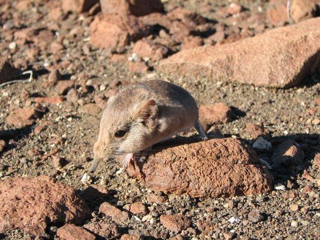 В намибии обнаружен неизвестный вид млекопитающего