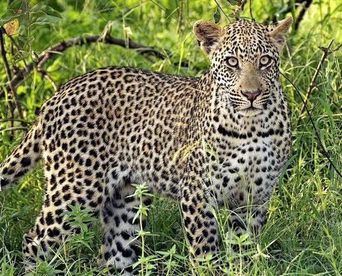 Leopard nebo Panther (Panthera pardus).