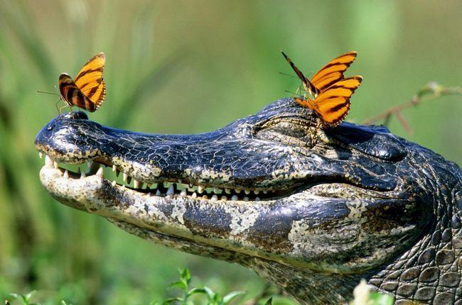 Теперь посетители смогут увидеть крокодилового каймана в его естественной среде обитания.