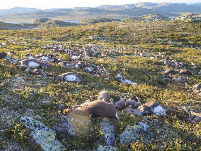 Tri stotine jelena ubijeno od udara groma u Norveškoj.