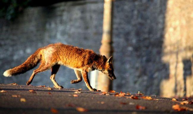 Lisica u Odesi.