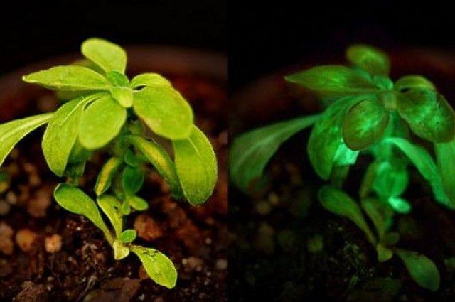 В один прекрасный день мы сможем читать при свете комнатных растений