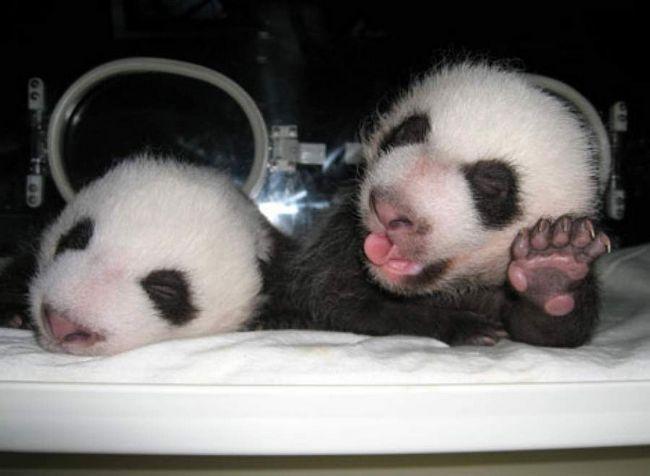 V Číně se narodila panda dvojčata.