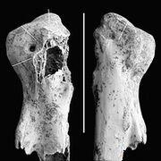 В пещере хоббитов найден гигантский аист